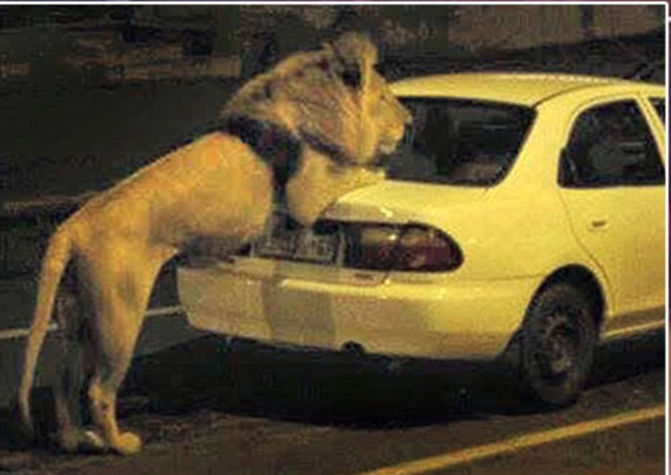 did russia unleash lions on the street, vladimir putin unleashed lions, coronavirus in russia, russia lions on street, russia 500 lions, read about whether vladimir putin unleashed lions on street, russia lions on street news, amidst coronavirus in russia a fake news has been getting viral, check did russia unleash lions on the street