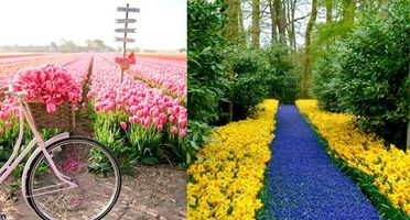Holland Tulip Festival: Over 7 million Tulip bulbs bloom in full glory, see pictures