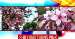 IN PICS | Shillong turns into pink paradise with vibrant cherry blossoms in full bloom