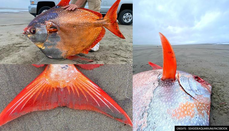 Us Massive Moonfish Washes Up On Oregon Beach In Rare Occurrence Weighs Over 45kgs