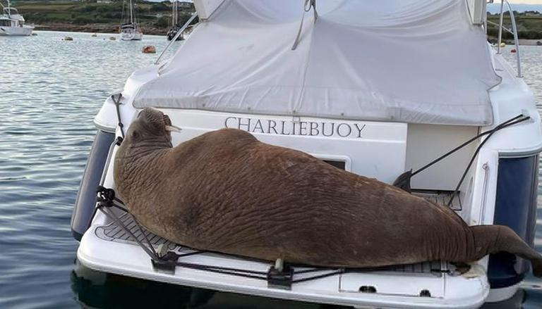 800kg Walrus To Get 'floating Sofa' After Sinking Boats, Damaging Vessels  Worth Thousands