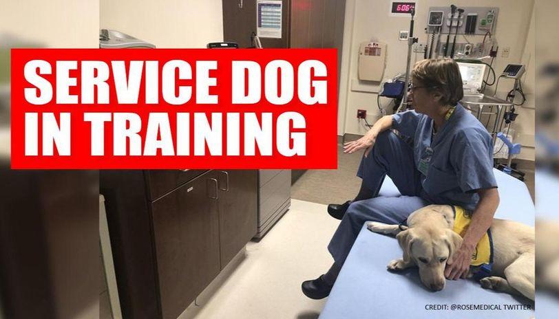 Coronavirus: Service dog in training provides Dr's much needed break