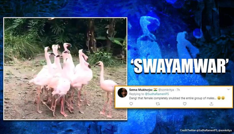 Video of Flamingoes performing mating dance delights Twitter users
