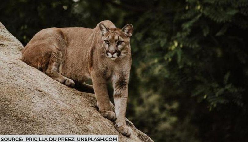 mountain lion attacks deputy