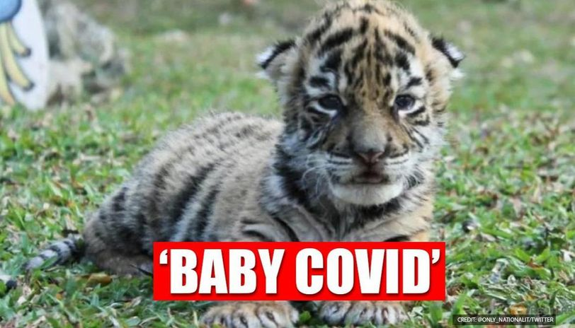 Tiger born with name Covid in a Mexican zoo, leaves netizens amazed