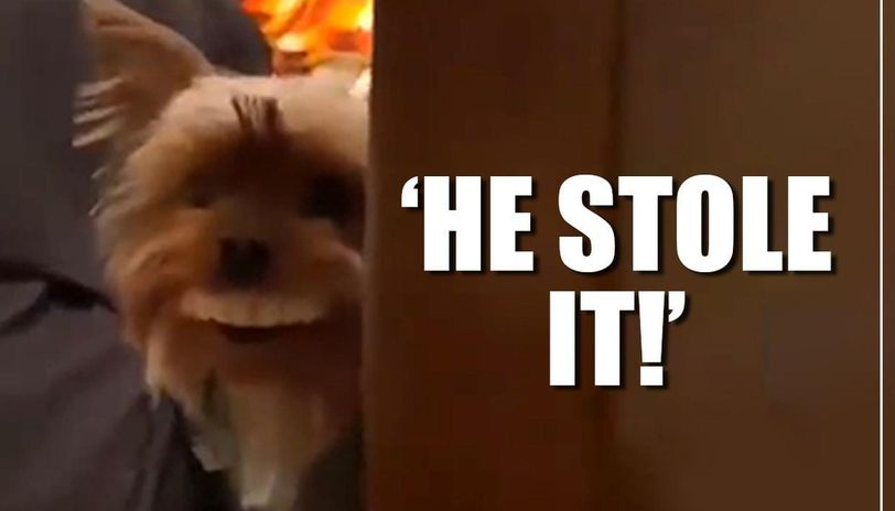 Pet dog wears false teeth after stealing them, netizens in splits