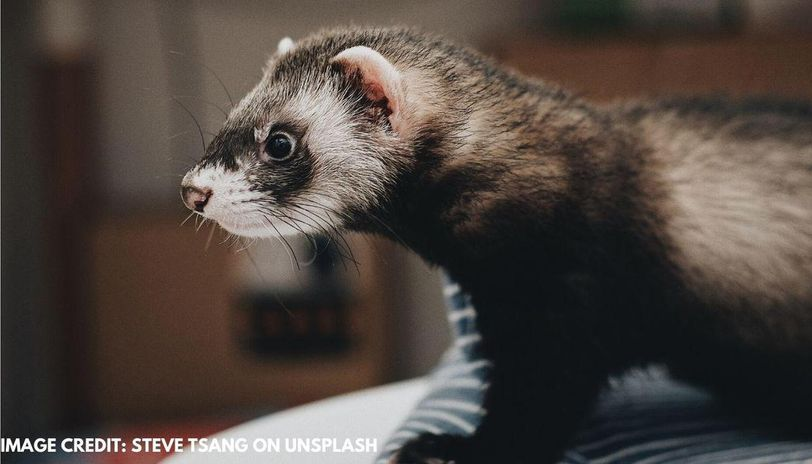 when is national ferret day