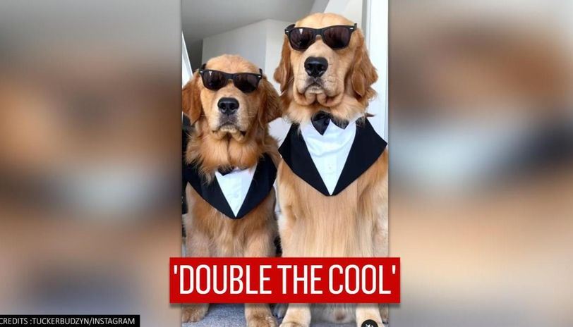suited dogs