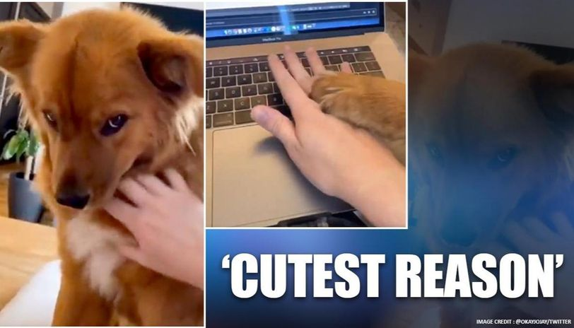 Coronavirus:Video of dog on Twitter distracting man working from home sparks chain of reactions