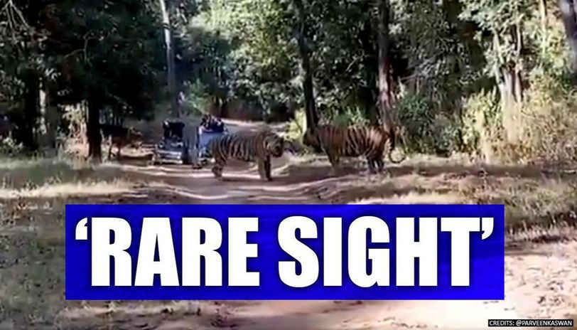 Tigers fight over territory in thrilling footage, netizens captivated