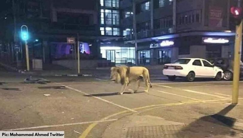 did russia unleash lions on the street