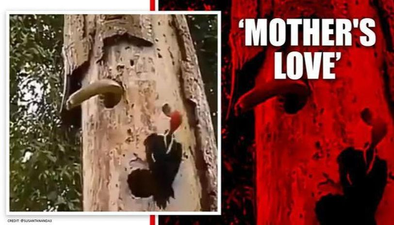 Video of woodpecker fighting snake to save its babies goes viral