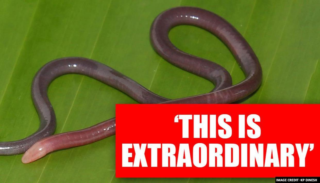 Researchers find rare snake-like venom glands in new amphibian species Caecilian