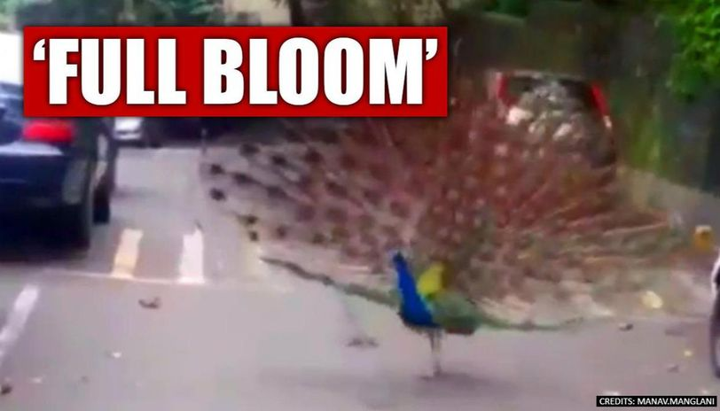 COVID-19 lockdown: Peacocks dance on Mumbai streets. Fantastic pics and video