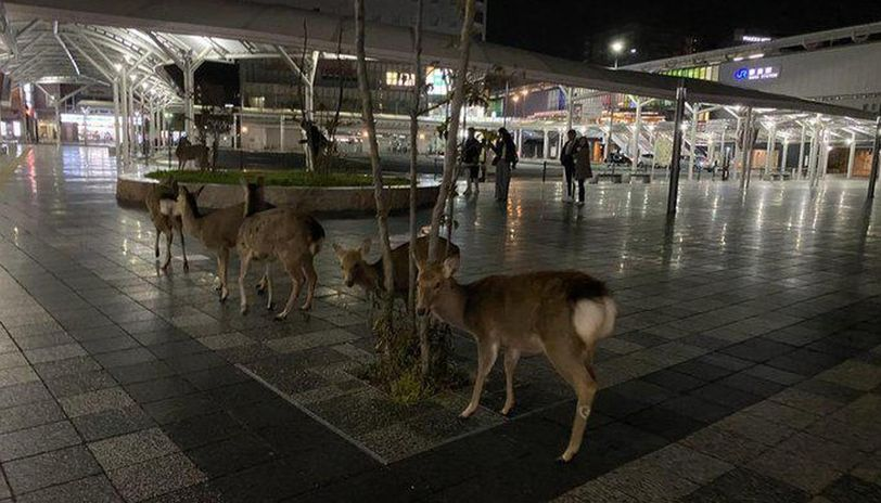 Deer in Nara roam city streets in search for food