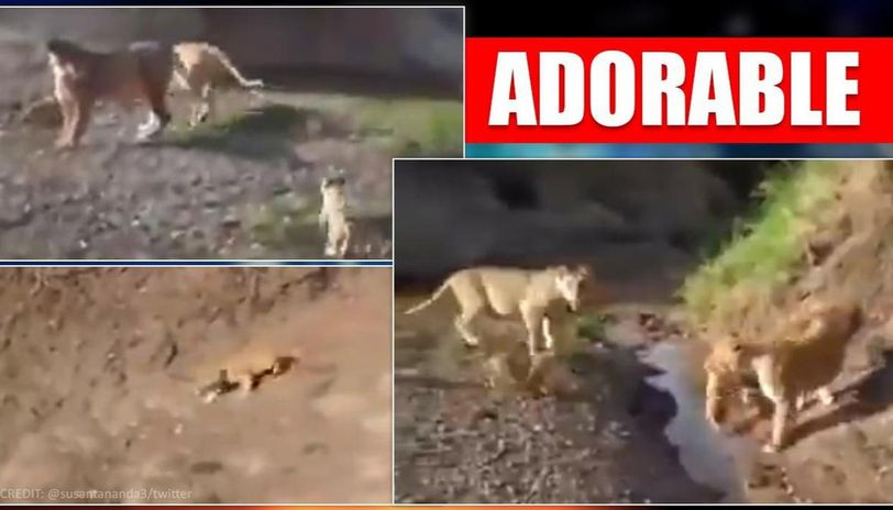 Lioness helps cub cross a narrow stream, Twitter users in love with it