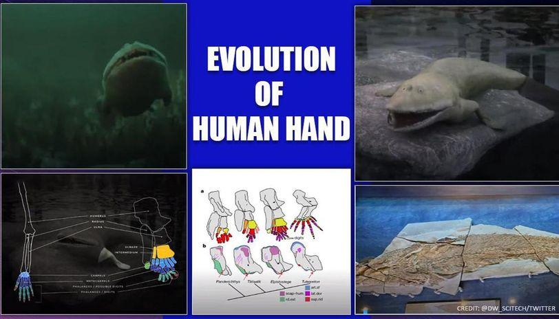 Fish fossil reveals hidden evolution, Elpistostege linked to humans