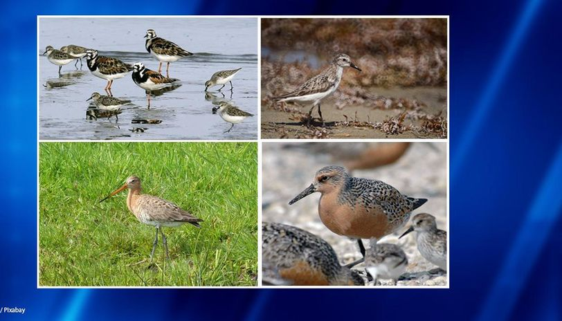 Endangered shorebirds