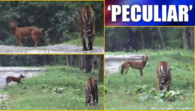 Video: Wild dog makes 'panic call' as tiger chases it, netizens amused