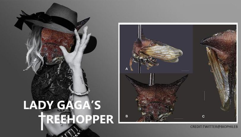 Treehopper discovered with 'devilish' horns named after Lady Gaga