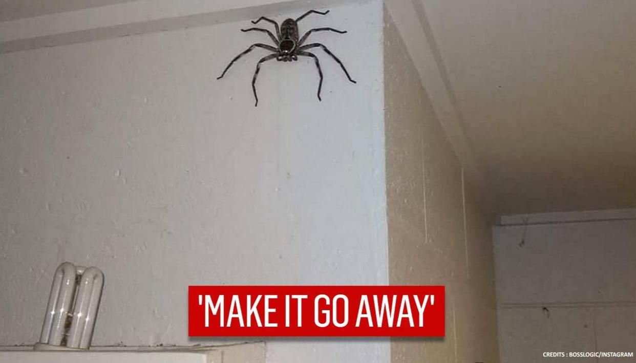 Man lets a huntsman spider stay in the house for one year, netizens say 'make it go away'