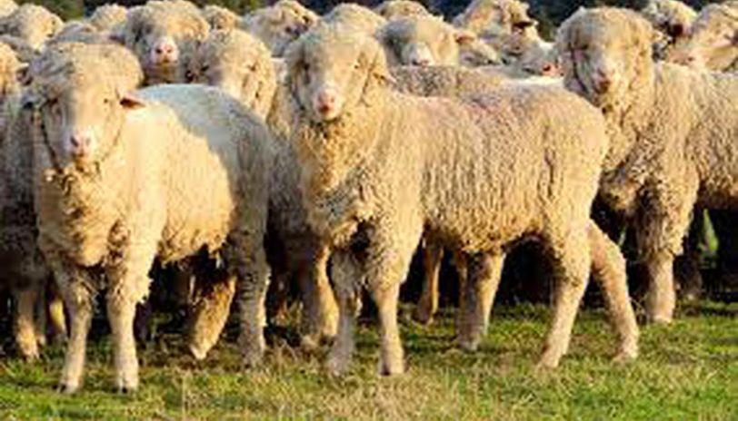 Uttarakhand Imports 240 Merino Sheep From Australia To Improve Breeding