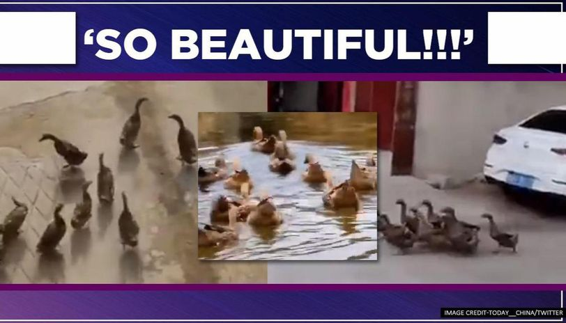 video of 11 ducks sharing a unique friendship wows social media users