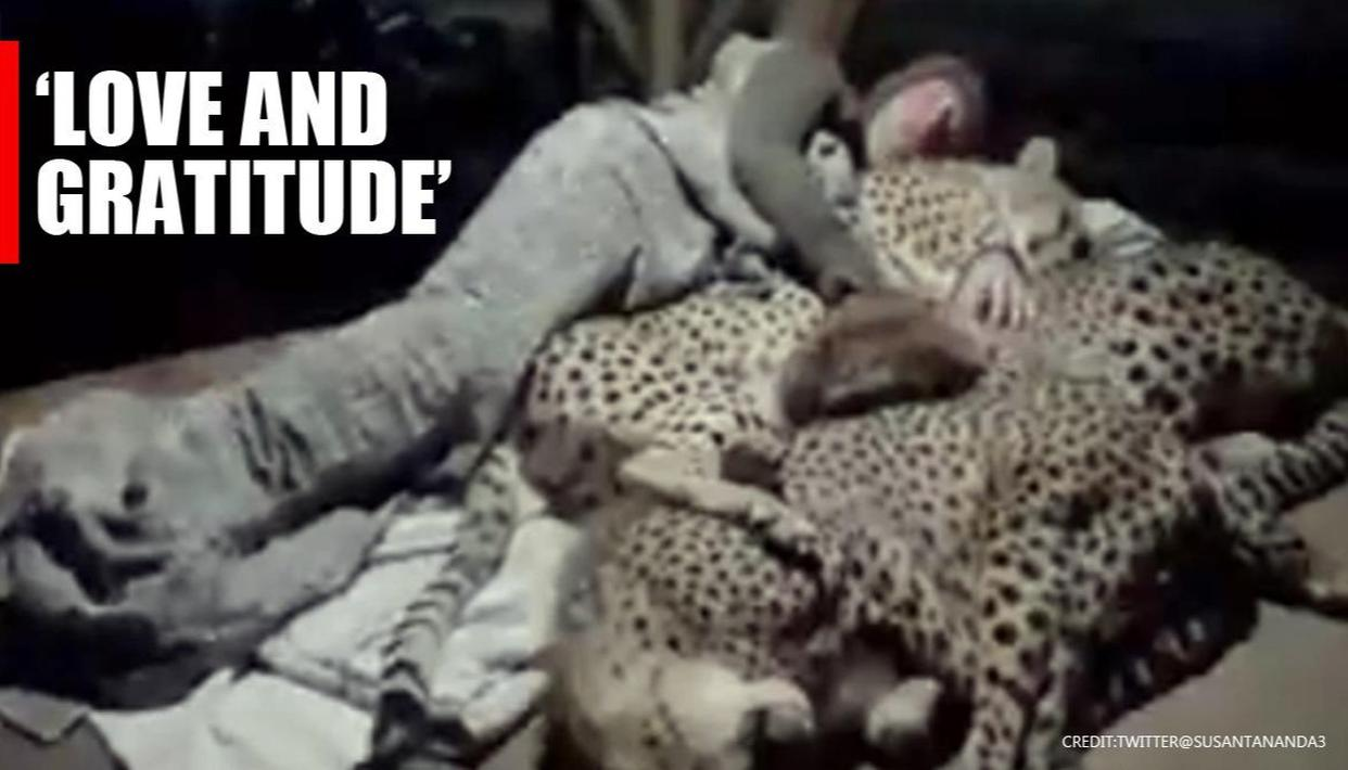 Video of man snuggling with cheetahs leaves netizens stunned; Watch - Republic World
