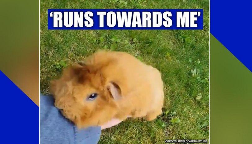 Guinea pig runs towards owner, netizens call it 'pure love'