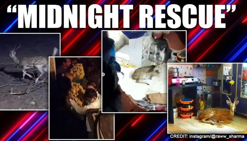 Deer comes crashing down from Mumbai slum rooftop, safely rescued; watch videos