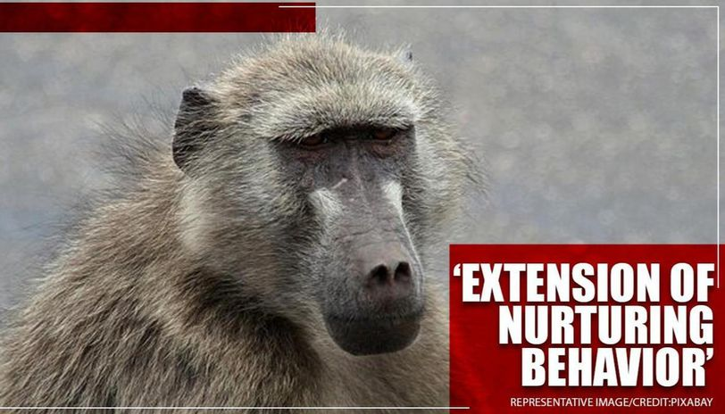 Baboons carry dead offspring for 10 days before realising infant's death: Alecia Carter