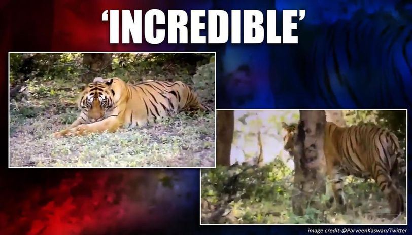 Tiger's radio collar removed, incredible video shared by Parveen Kaswan