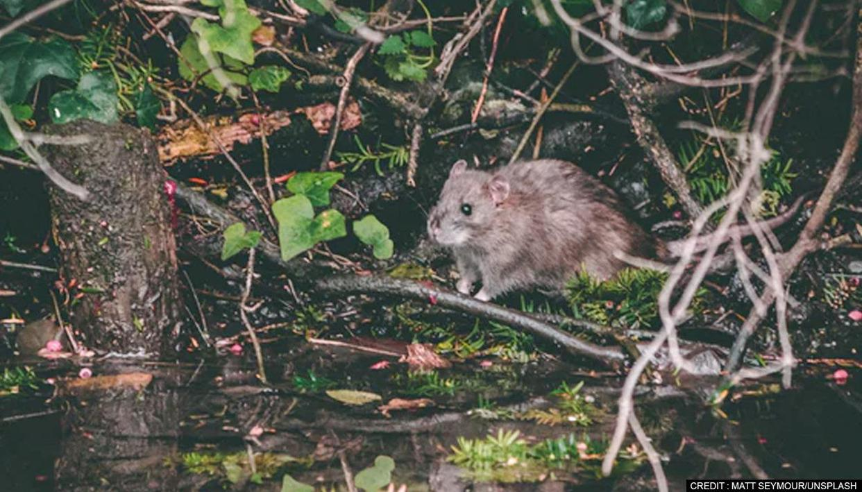Giant cloud rat species twice the size of grey squirrel discovered in Philippines - Republic TV