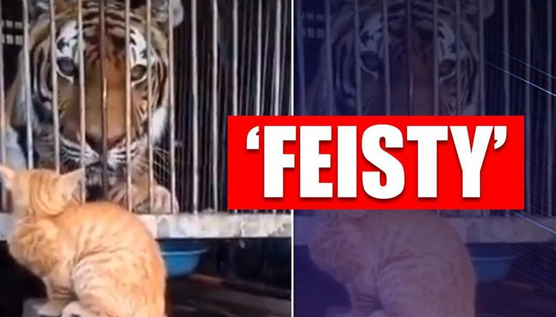 Hilarious video of tiger fearing a house cat leaves netizens in splits
