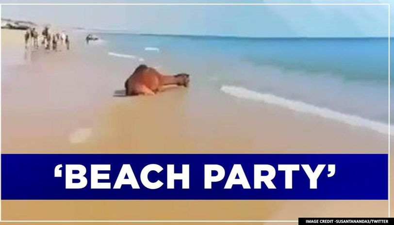 Camels enjoy at the beach as humans confine to homes amid coronavirus lockdown