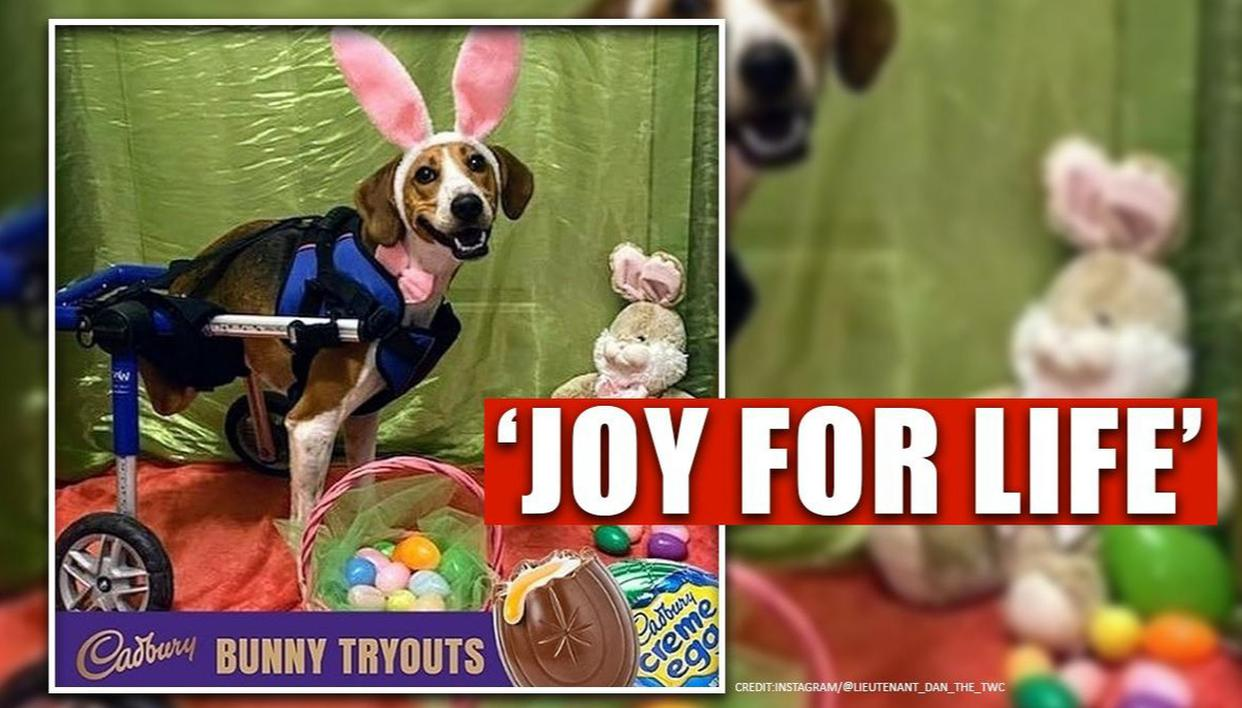 Meet 'Lieutenant Dan', a two-legged coonhound finalist for the Cadbury Bunny tryouts