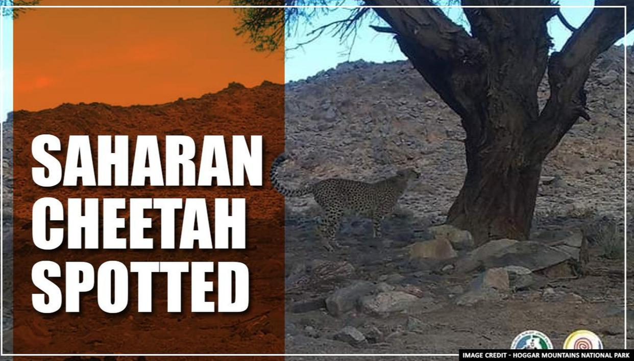 Algeria: Rare Saharan cheetah spotted for the first time in a decade, see pics - Republic World