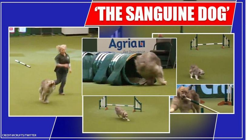 Video of rescue dog's disastrous run at Crufts leaves internet in splits