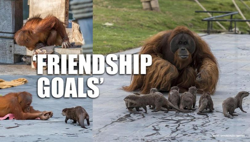 Orangutans form bond with Otters, who share their enclosure in a Belgium zoo