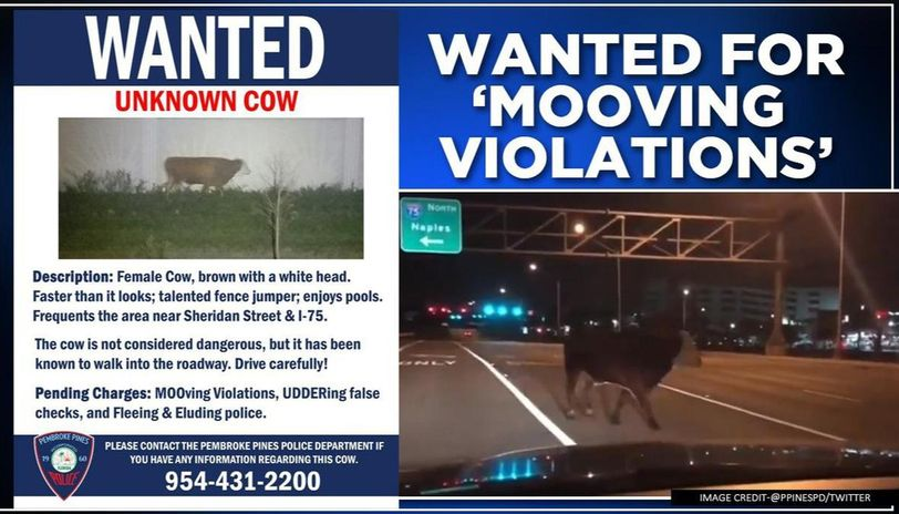 'Fence jumper' cow wanted by South Florida police for 'Mooving violations'