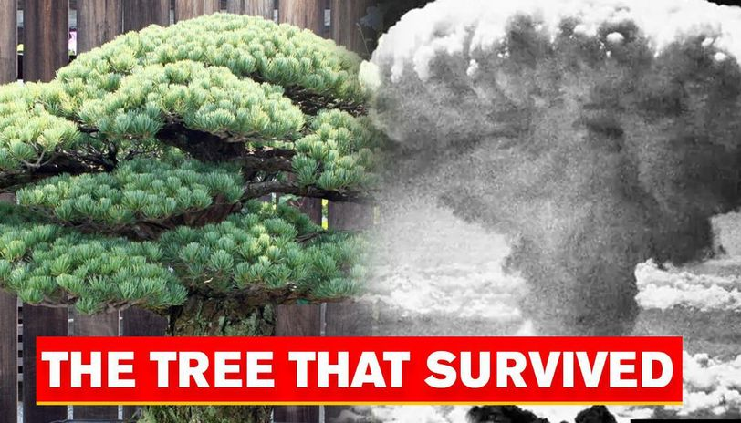 Story Of The 395 Year Old Bonsai Tree That Survived Us 1945 Hiroshima Bombing