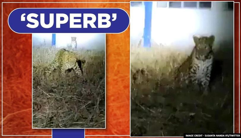 Leopards spotted 'chilling' at Deolali Air Force Station, watch video