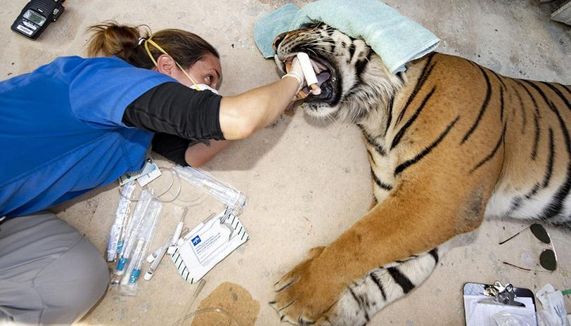 COVID-19: Tigers tested for coronavirus in US, photographs emerge