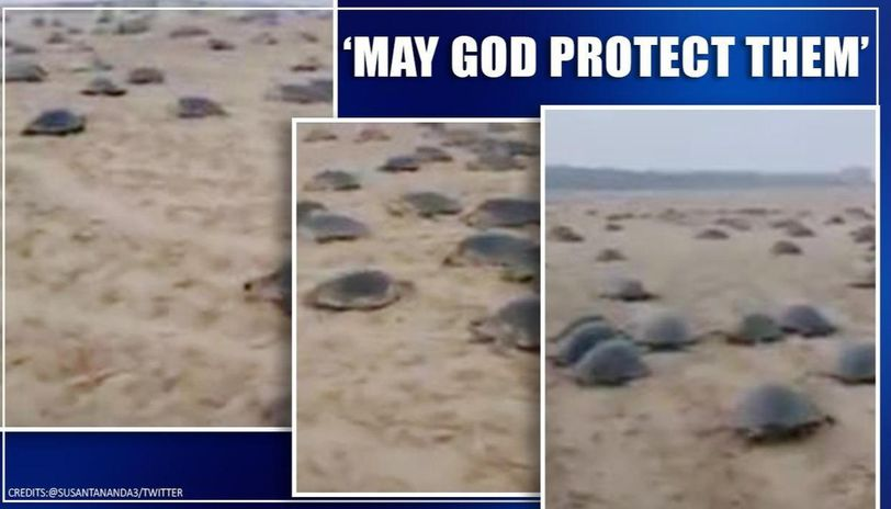 Video of turtles' annual nesting sojourn leaves netizens amused