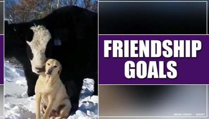 This adorable friendship of cow and dog is winning hearts on social media