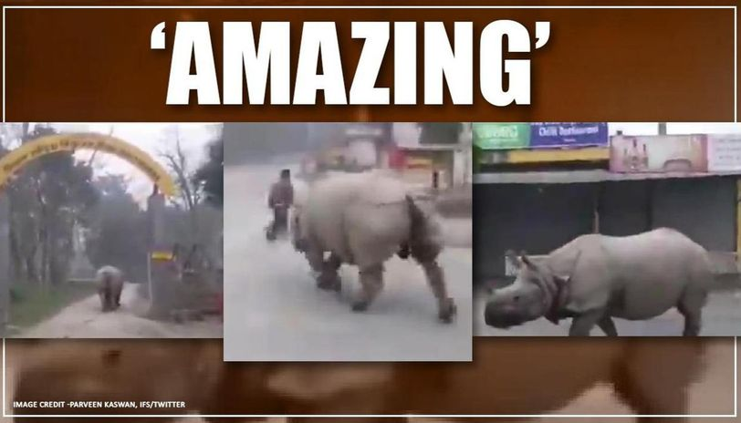 Rhino strolls outside of Chitwan National Park in Nepal, watch video