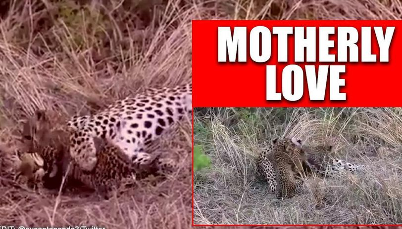 Video of mother Cheetah playing with her cubs surfaces, twitter users laud the bond