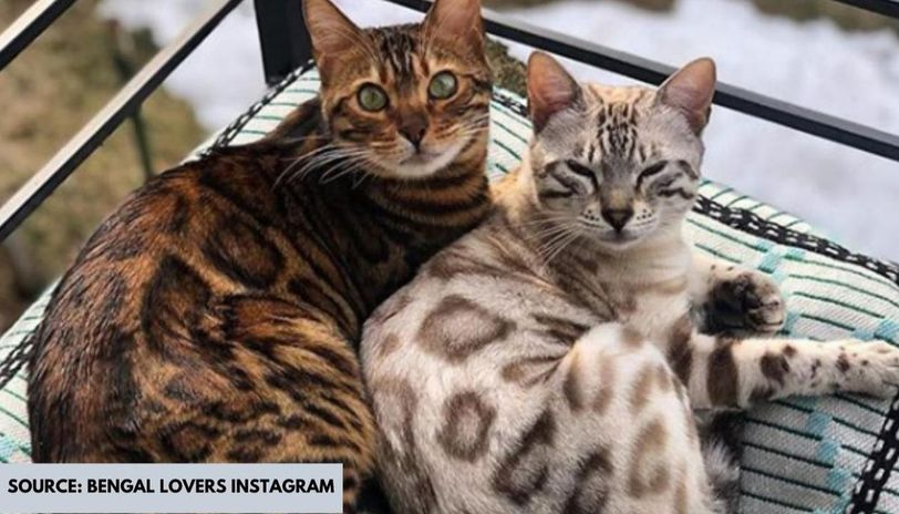 most intelligent cat breeds