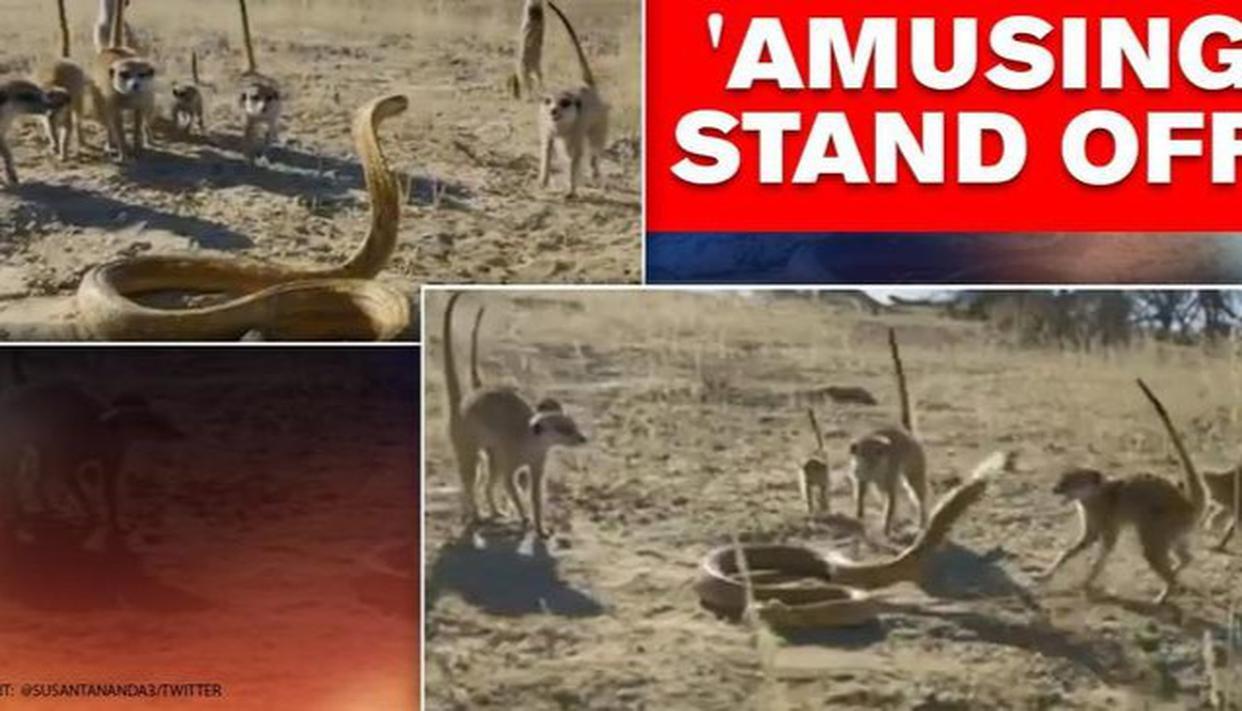 Cobra & meerkats' 'standoff' leave netizens amused, say 'deadliest combination'; watch - Republic World