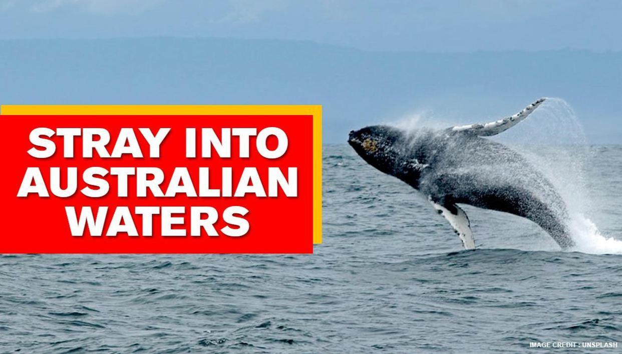 Australia: Humpback whales make a rare appearance in Kakadu Park's Alligator River - Republic World